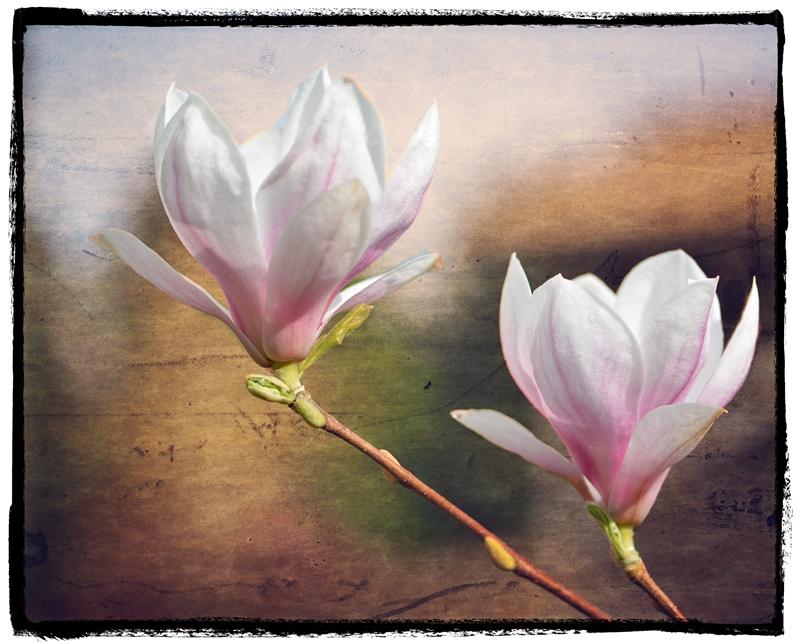 Magnolia 4992 Pat Haugen copy