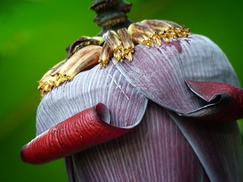 Banana Flower © Pat Haugen