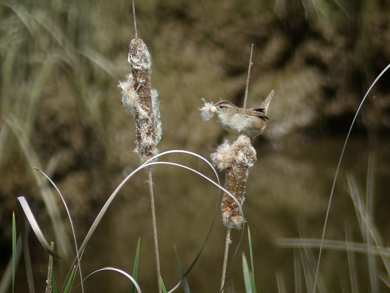 Marsh Wren © Pat Haugen