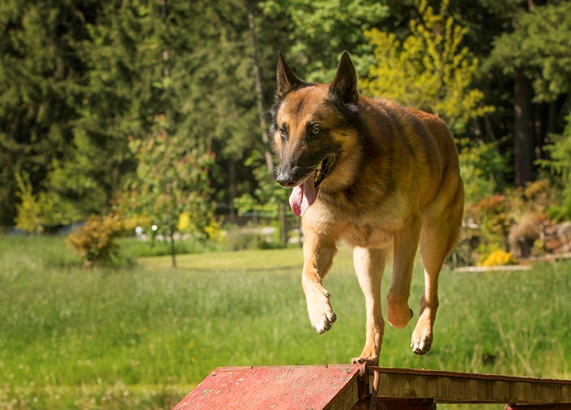 Neo, Jenna's Belgian Malinois having fun Doug Bell copy