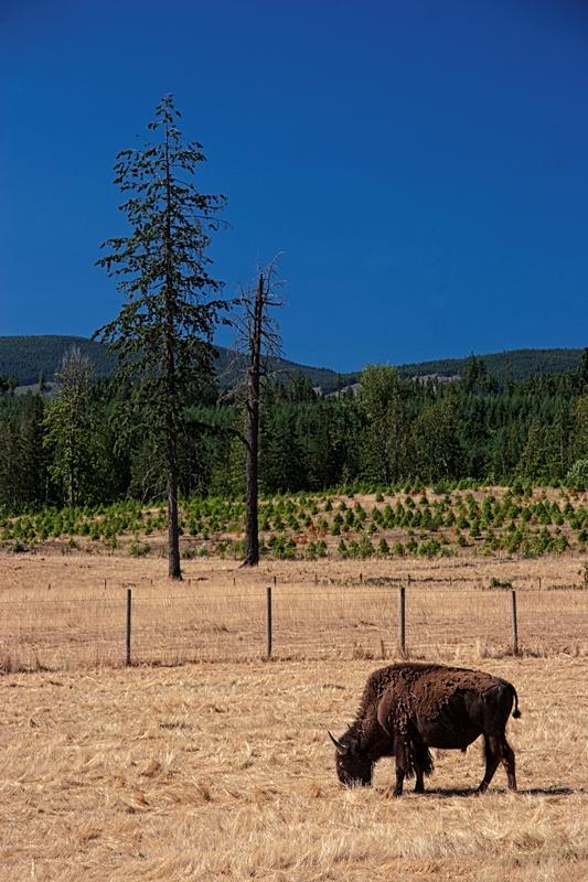 Lone Bull © Brad Grigor