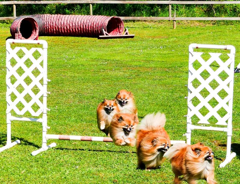 Pomeranian Jump © Josh Nadon
