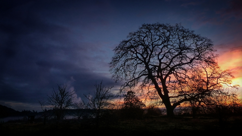 First ~ August 2015 ~ Garry Oak Silhouette © Erika Nadon