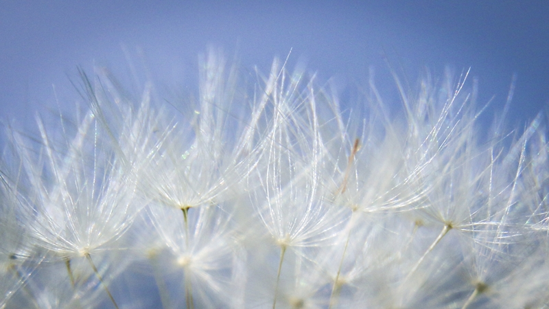 Second ~ April 2016 ~ Dandelion © Brian Clemens