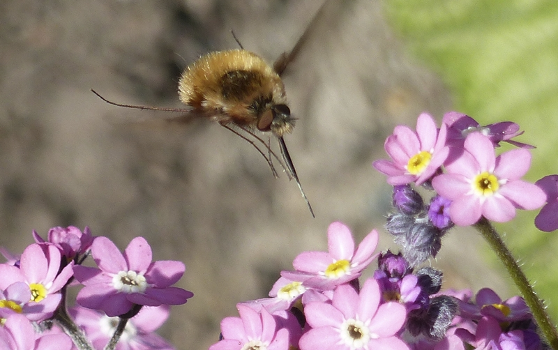 Third ~ April 2016 ~ Hovering Bee Fly © Pat Haugen