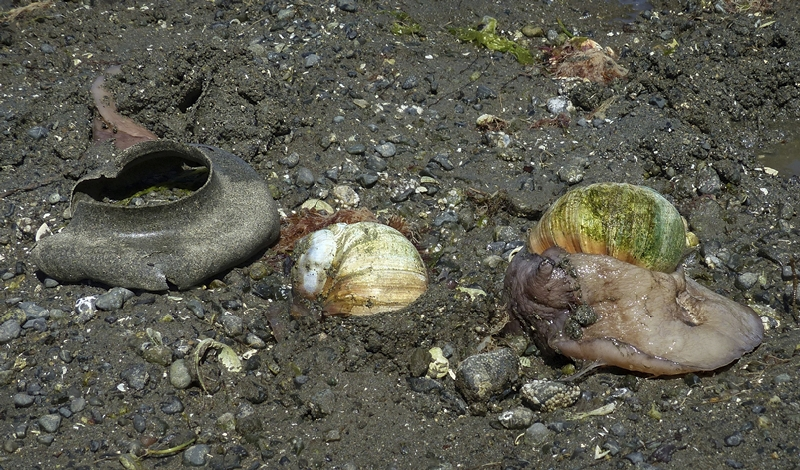 Moon Snails and Collar © Erika Nadon