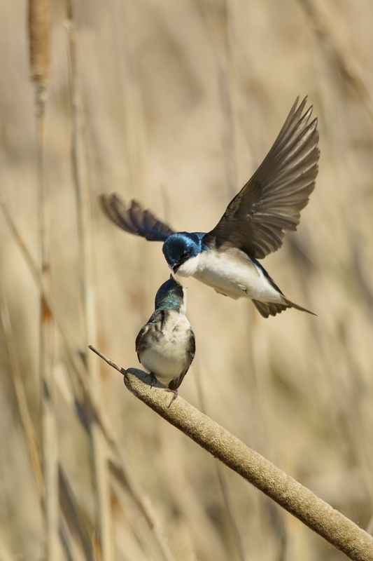 Tree Swallow Tango © Bruce Whittington