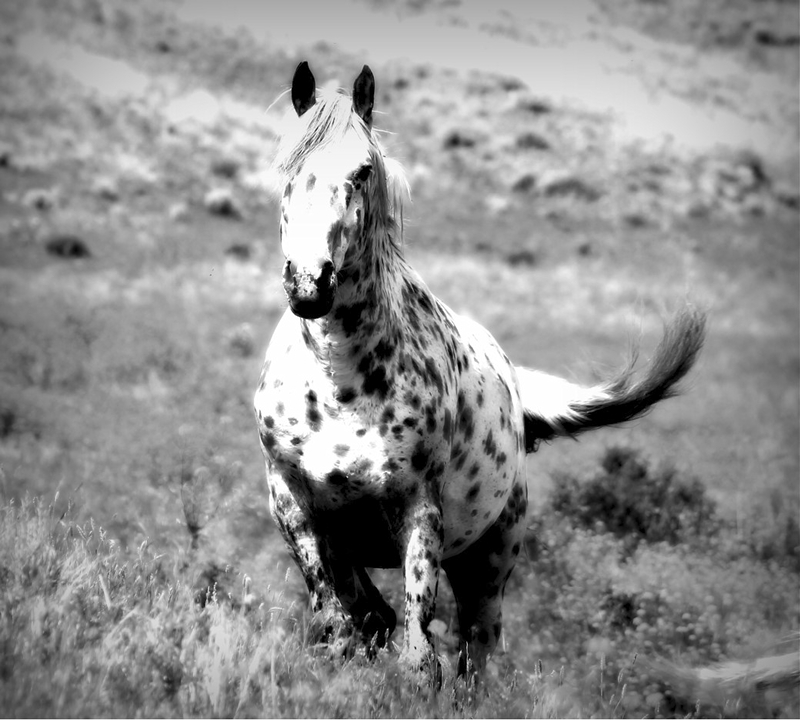 Second ~ July 2016 ~ Appaloosa Stallion © Lilia Cugini